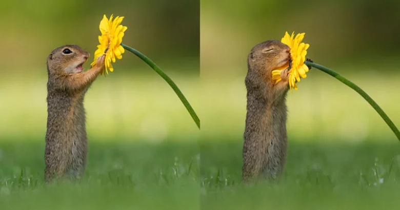 شکار لحظه ای استثنایی: تصاویری از بو کشیدن گل زرد توسط سنجاب